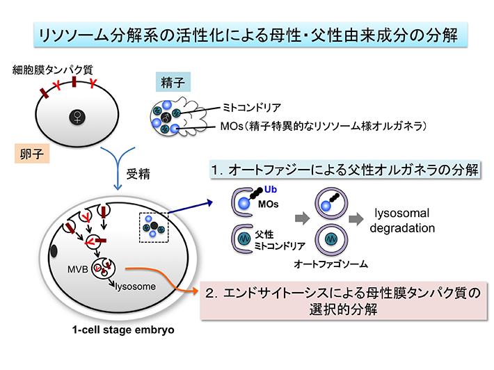 生体膜HP用ポンチ絵日本語2015